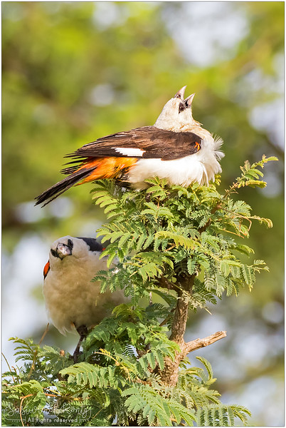 2 White-headed buffalo weavers