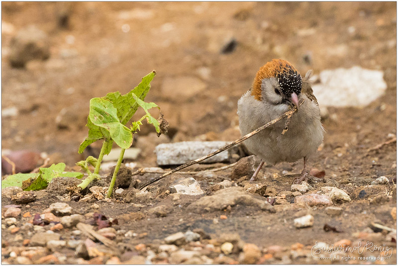 Speckle-fronted weaver. Have I mentioned it is a weaver? hehe