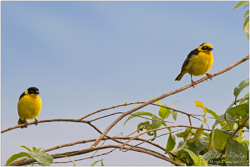 Baglafecht weaver, female and male