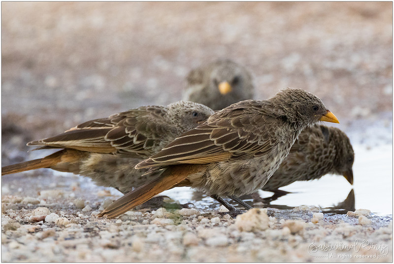 Rufous-tailed weaver - ready for the afternoon bath