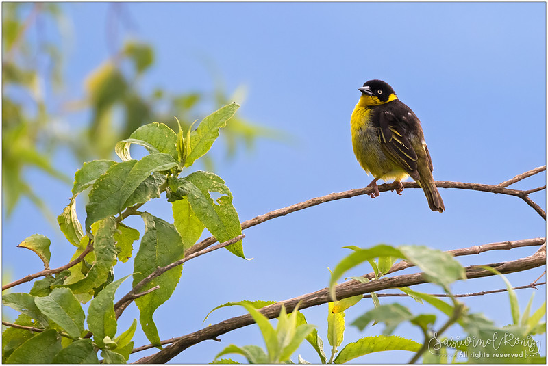Baglafecht weaver, female on a branch