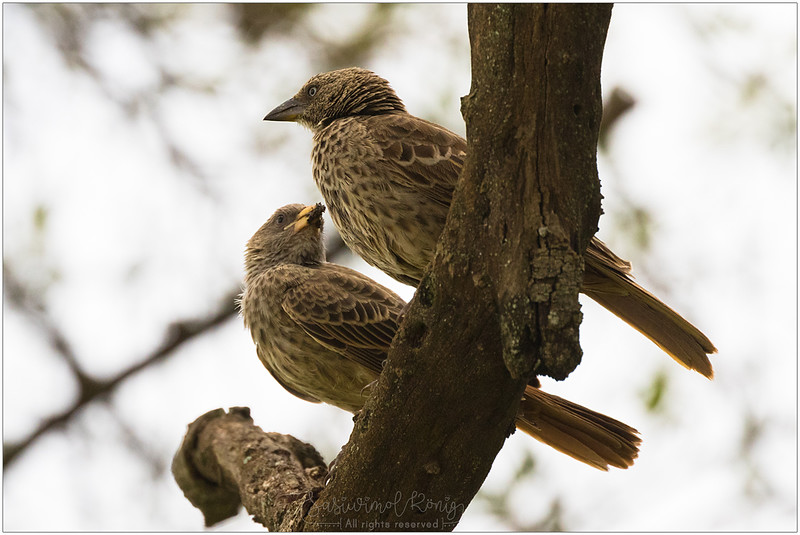 Rufous-tailed weaver.. what's that in the beak?