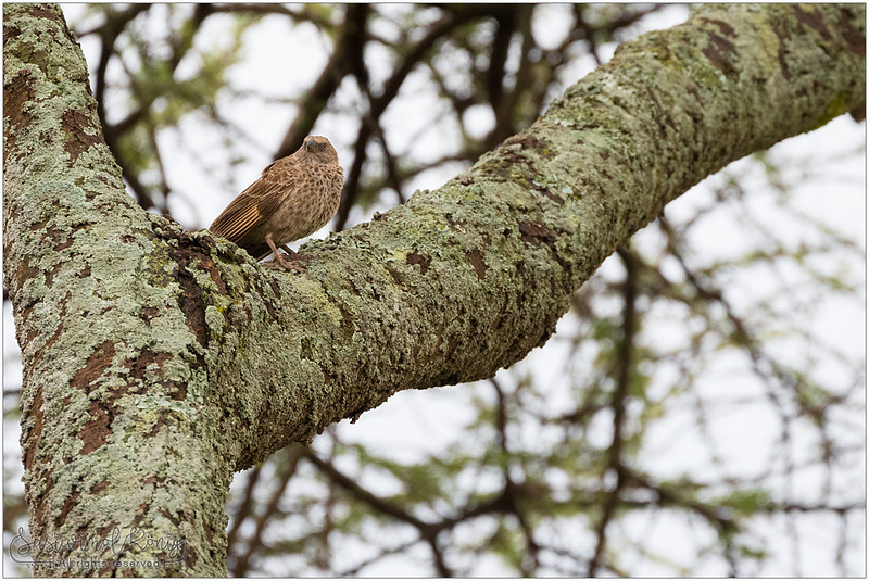 Rufous-tailed weaver, observing