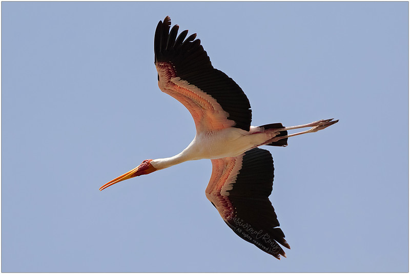 Low angle of Yellow-billed stork, very wide wingspan