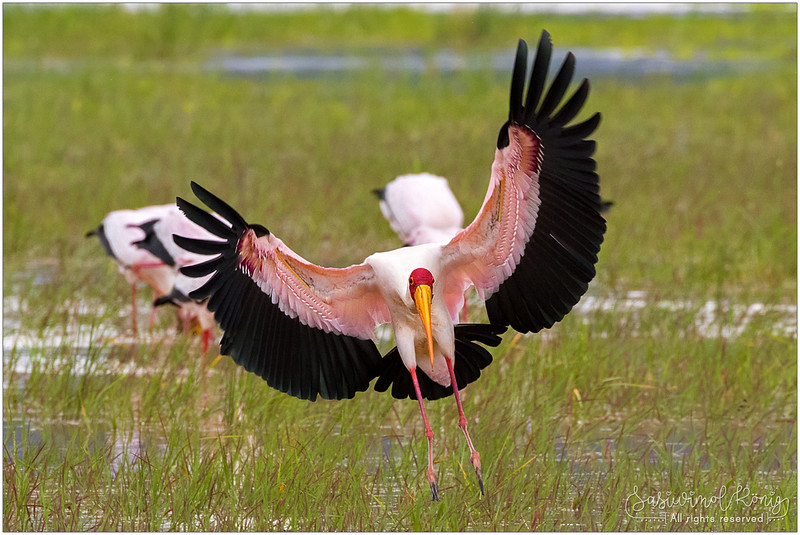 Yellow-billed stork with sweet pinkish feather