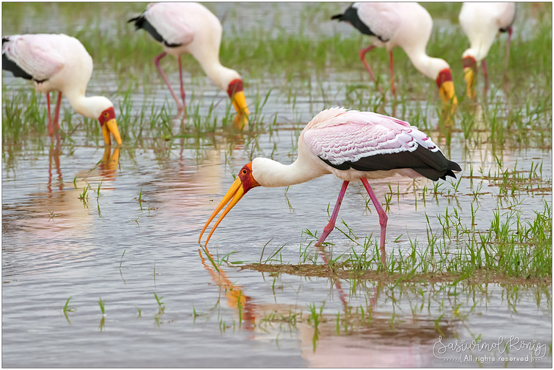 Yellow-billed storks foraging for fish in water. Leaving bills partially open and wait to snap up their preys