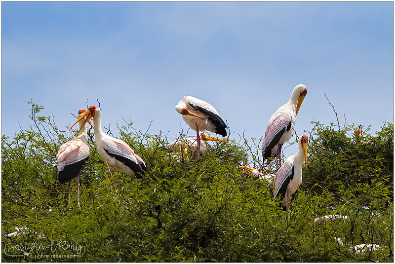 Yellow-billed storks (Wood ibis) on the tree up high