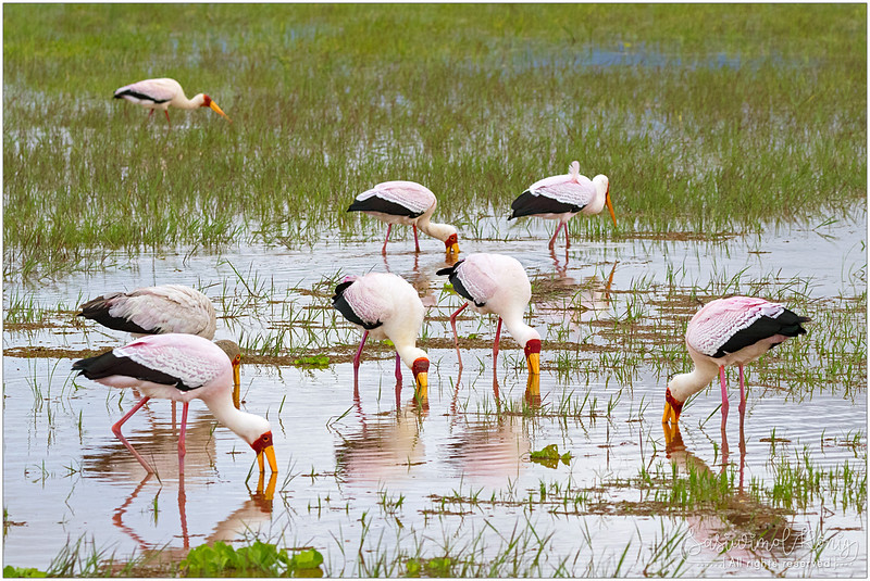 Yellow-billed storks foraging for fish