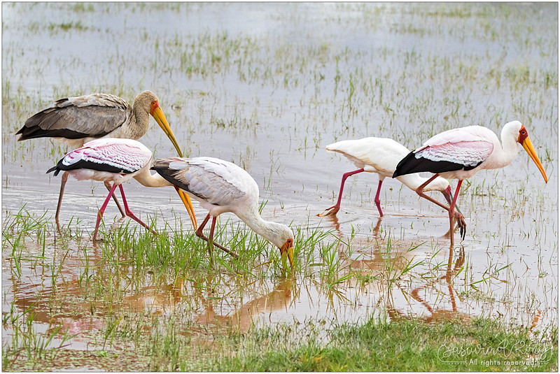 Yellow-billed storks with one juvenile in greyish-brown plumage