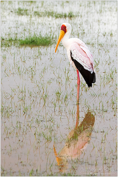 Yellow-billed stork with featherless red head.. is it smiling?