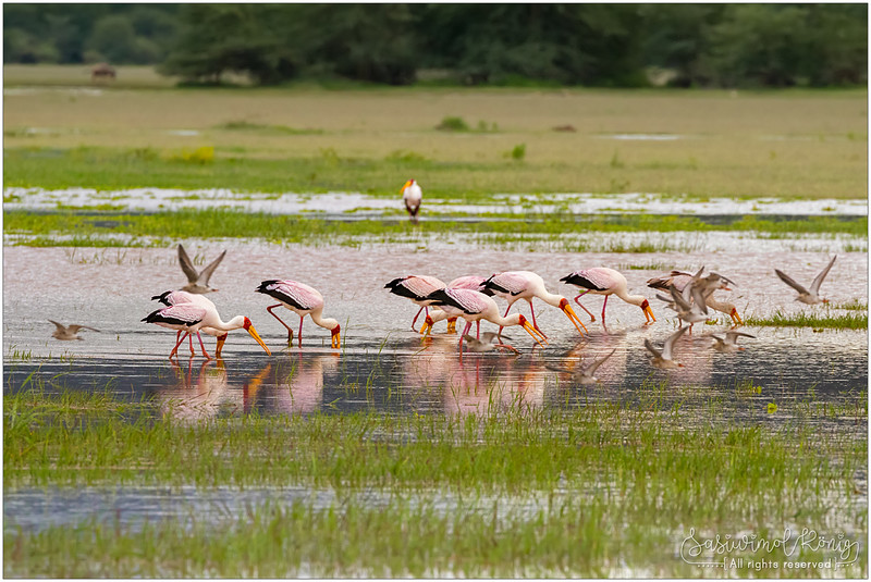 Lunch time for Yellow-billed storks