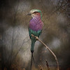Lilac Crested Roller