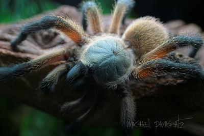 Tarantulas_recent