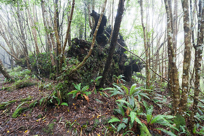 Regenerating native forest and tree stump, Waiopehu Track, Tararua Forest Park