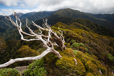 Dead tree on Neil Ridge, Tararua Forest Park