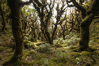 Beech forest and leatherwood, Neil Winchcombe Ridge, Tararua Range