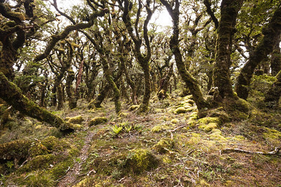 Stunted, moss covered beech trees, Aokaparangi, Main Range, Tararua Forest Park