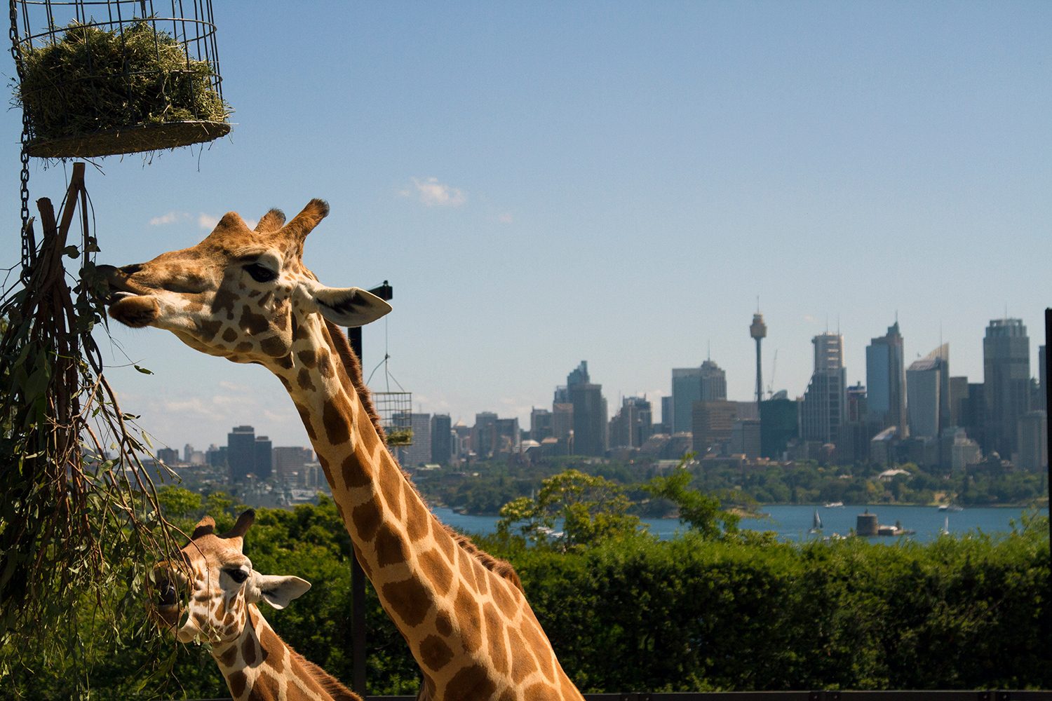 A strong commitment to conservation, a wide range of animals and breathtaking harbour views - here's why you should visit Sydney's Taronga Zoo.