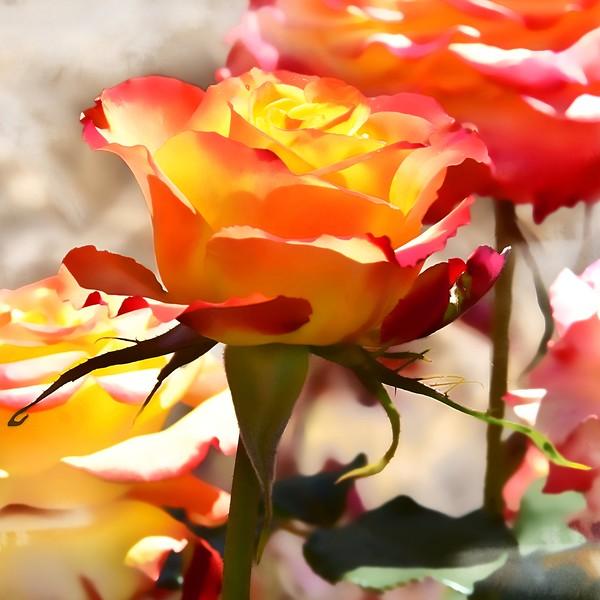 Watercolour Rose. Longford Festival of Roses.