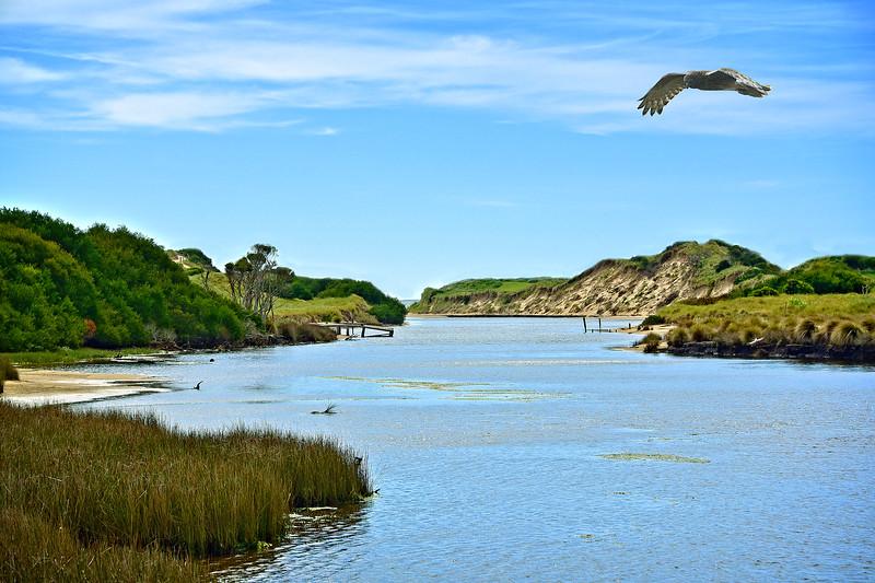Marsh Harrier, Great Forester River, via Bridport. 2.