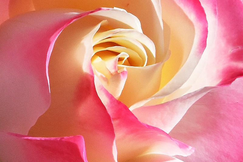 Rose, Longford Festival of Roses. 1.