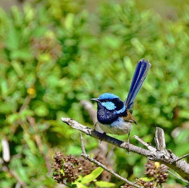 Blue-tailed Fairy Wren. Near Batman Bridge.