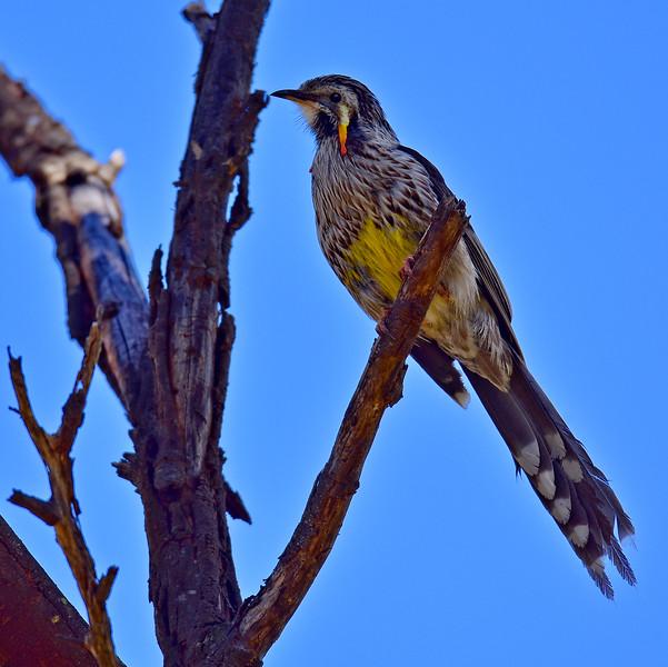 Yellow Wattle Bird  a.k.a. Tasmanian Wattle Bird