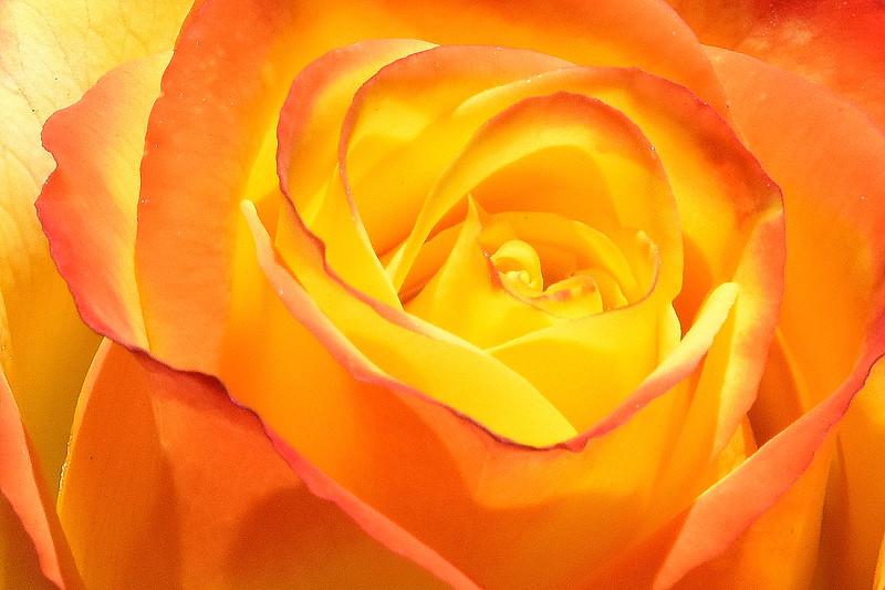 Rose, Longford Festival of Roses. 2.