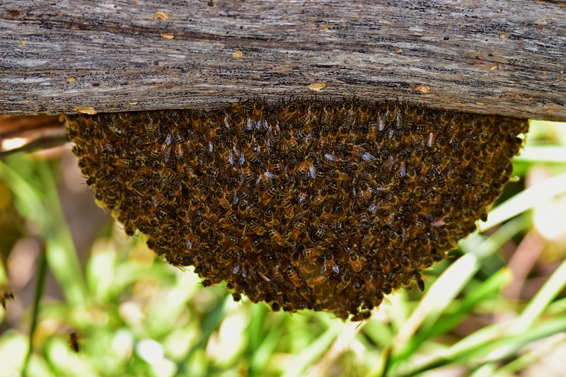 Hive alive! Seen on the banks of the Tamar. George Town, Tasmania.