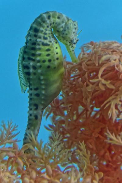 Seahorse. Seahorse World, Beauty Point.