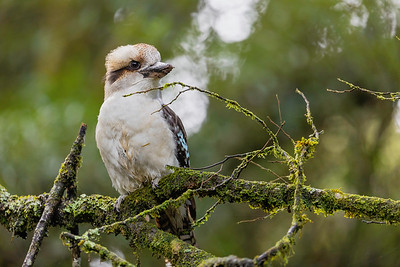 The kookaburra is well known to many in song and quite a sight throughout the area