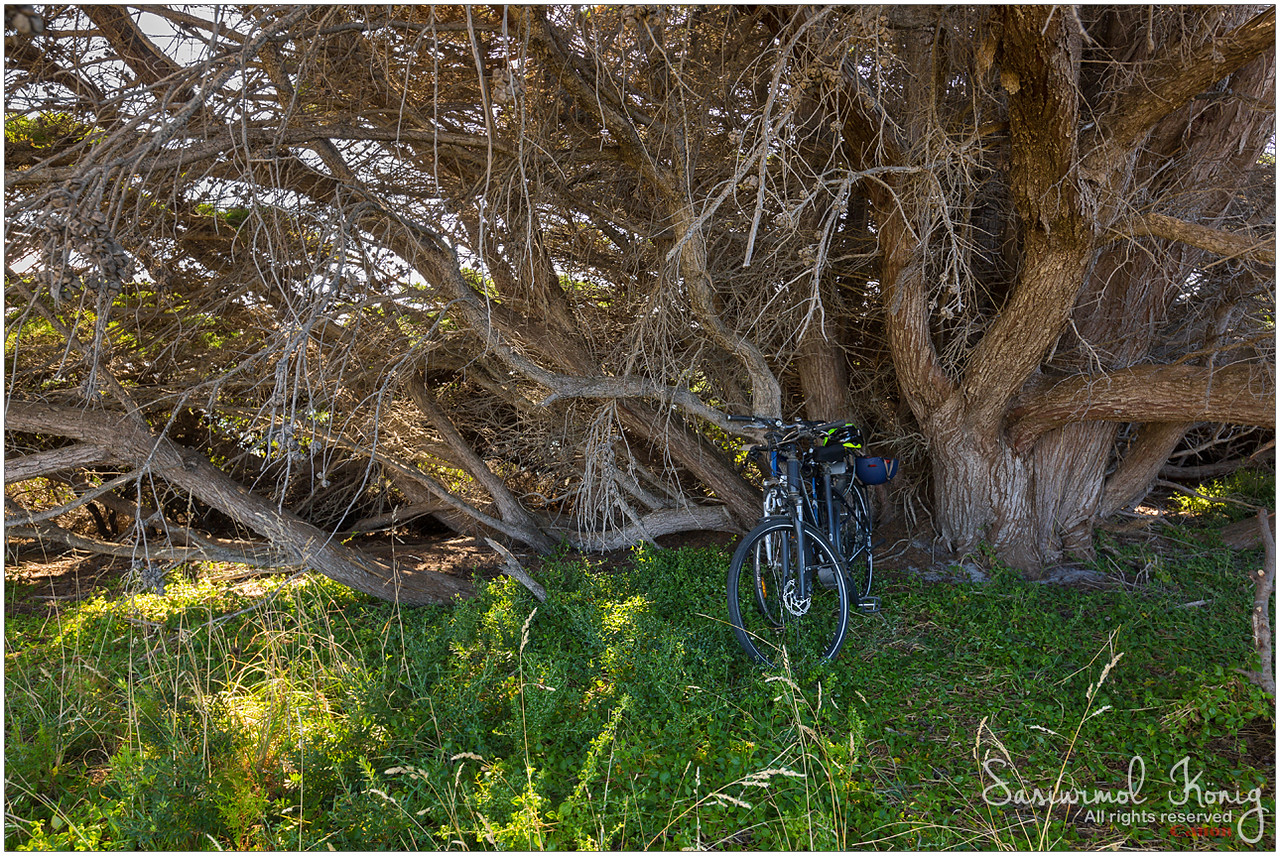 Bicycle parking under a big leafless Gum tree