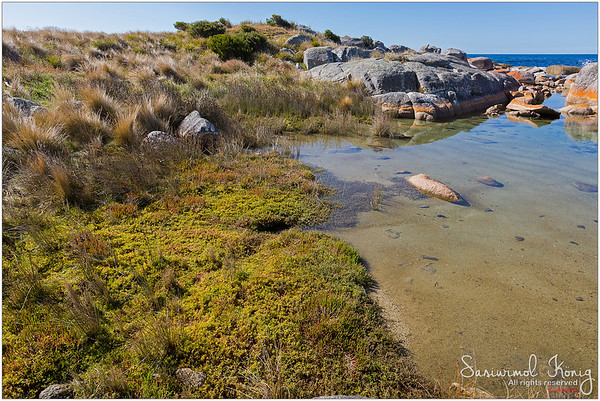 Knotted club-rush, colorful beaded glasswort growing on coastal area of Bay of Fires