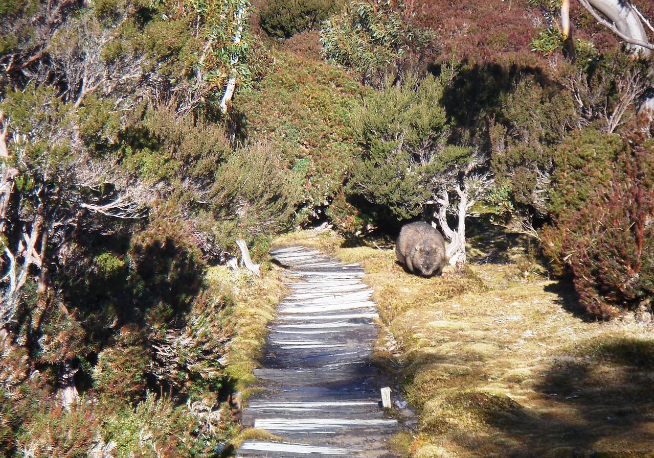 Wombat, trackside.