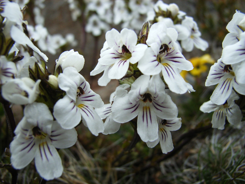 Euphrasia close-up