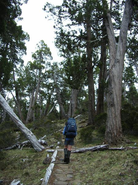 track through Pencil Pines