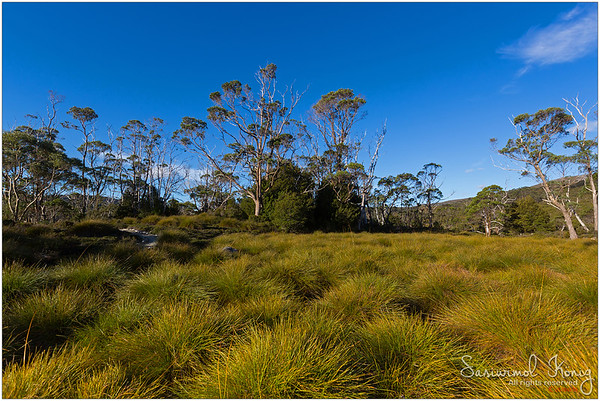 Buttongrass moorland and tall gum trees