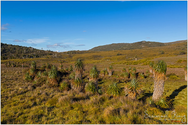 Lots of shaggy headed Pandani growing along Overland track. Could you spot a bus on the left side of this photo?
