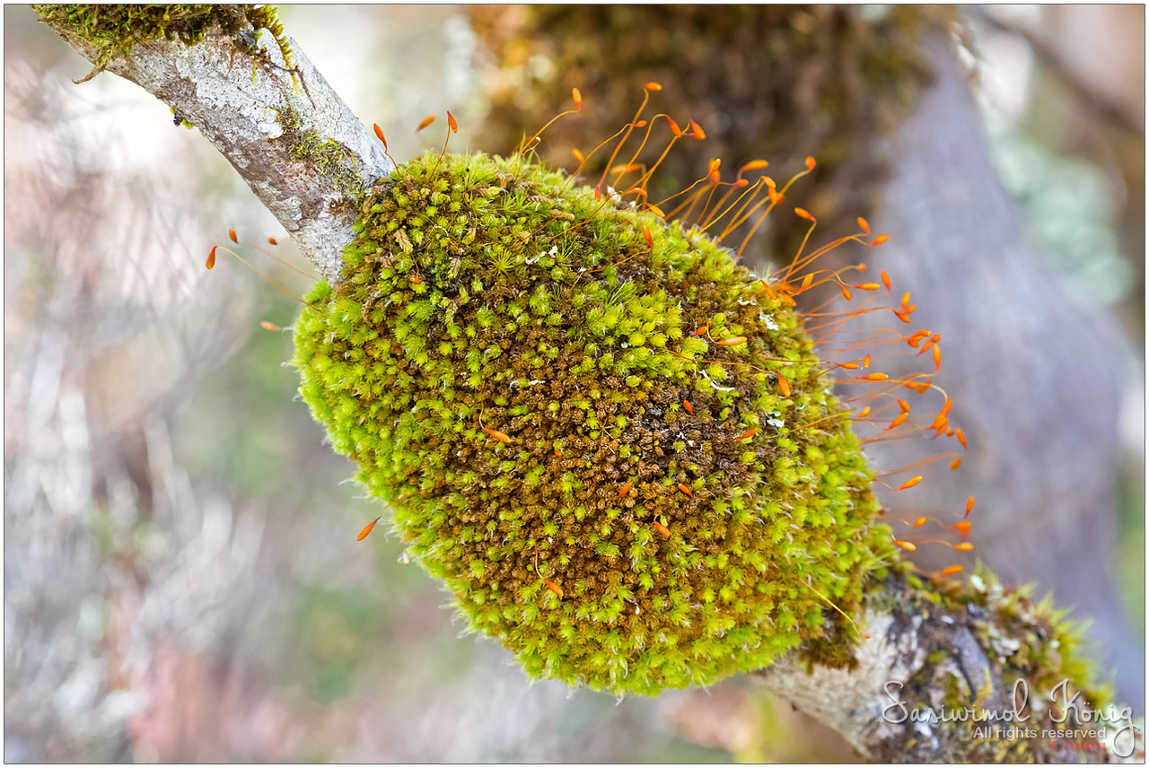 Moss with Sporophytes on a branch… pretty orange capsules