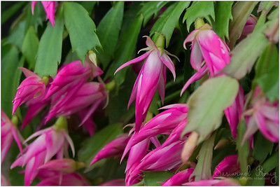 Flowers of Christmas Cactus (Schlumbergera)