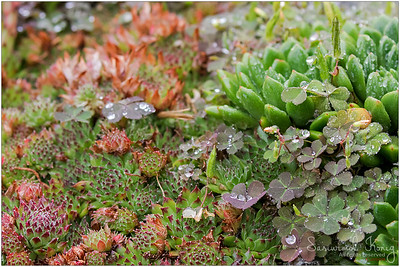 Succulent plant after the rain