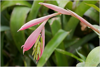 Billbergia nutans (Queen's Tears)