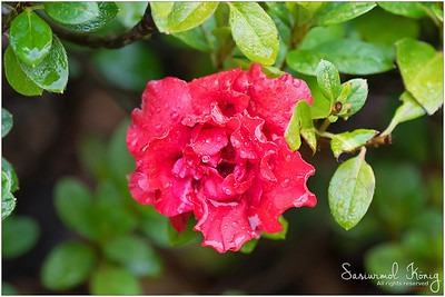 Azalea Indica Goyet, frilly double flower in red