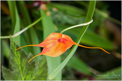 Orange Masdevallia - kite orchid