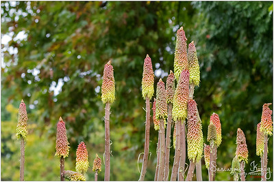 Kniphofia (Red hot poker, torch lily, knofflers, poker plant)