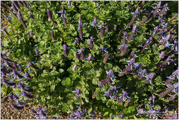 Dog's bane (Plectranthus Ornatus)