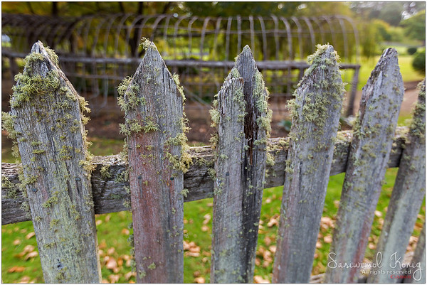 Lots of lichens growing on picket fence at Port Arthur Historic Site