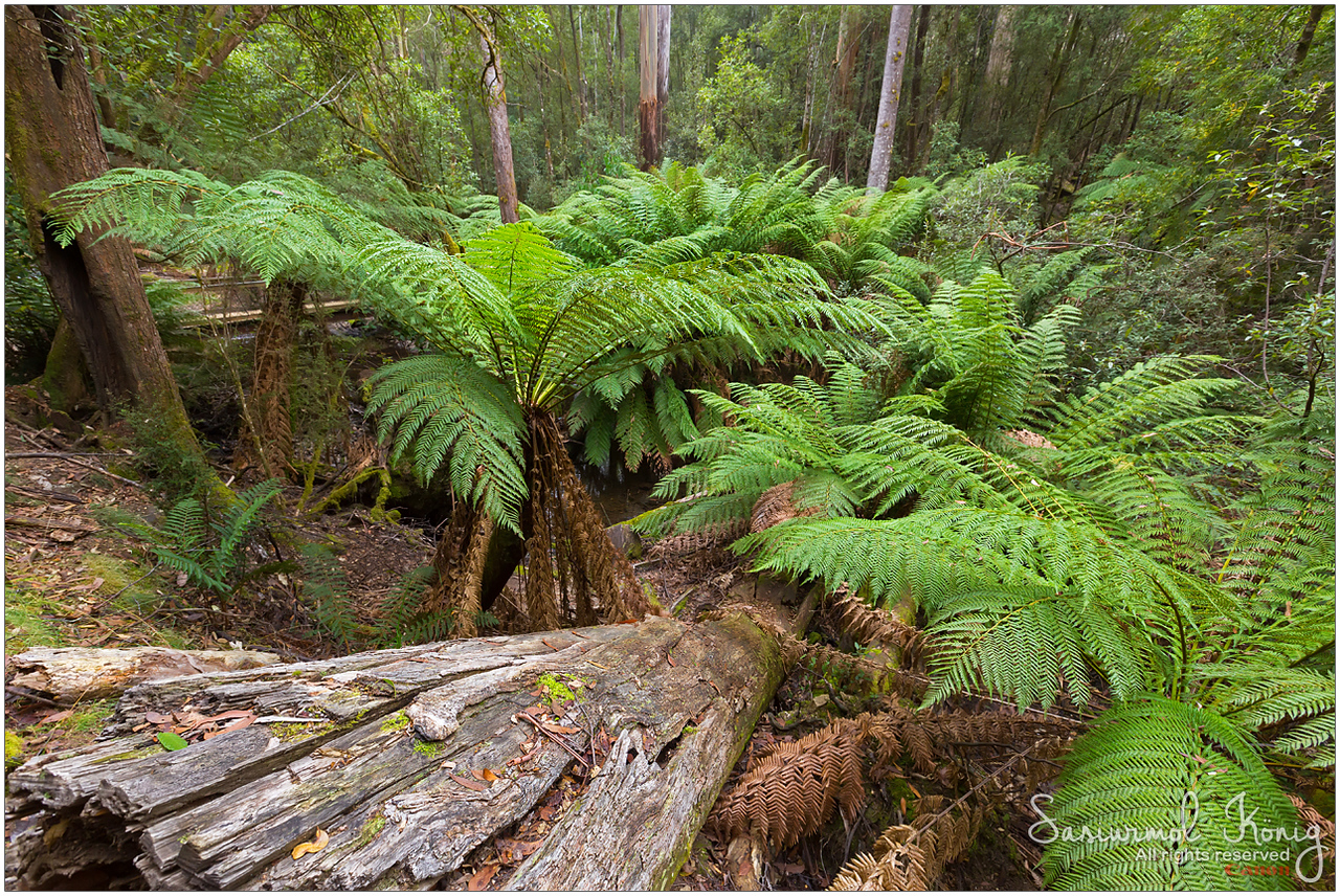 Tree Ferns at Mount Field national park