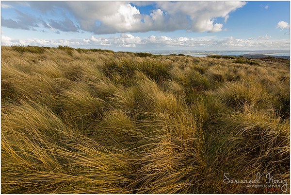 Strong wind blowing grasses along summit circuit, on top of the Nut State Reserve