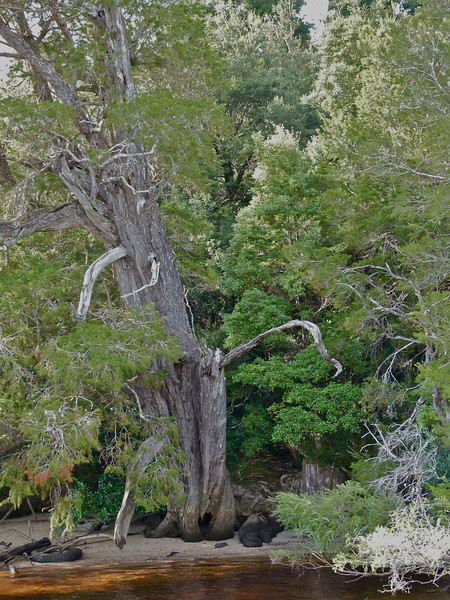 An old and gnarled Huon Pine